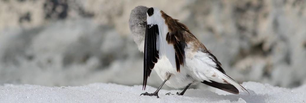 snowfinch gallery 2