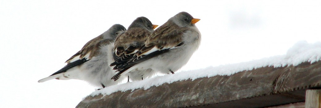 Snowfinch gallery 3