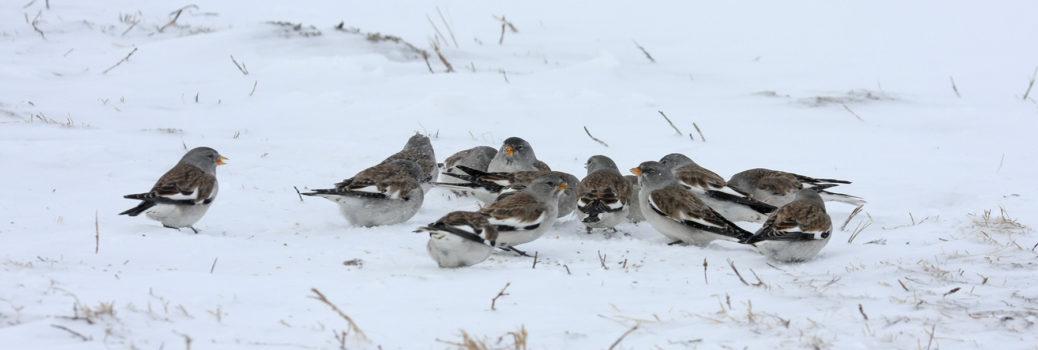 Snowfinch gallery 6